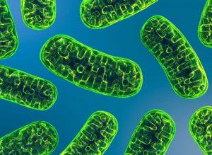 mitochondrie métabolisme énergétique